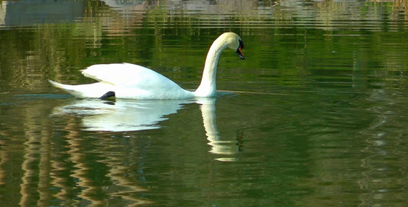 Swan on the Green Lake