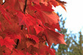Red Maple Leaves - PhotoDune Item for Sale
