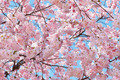 Spring background with pink blossom on blue sky - PhotoDune Item for Sale