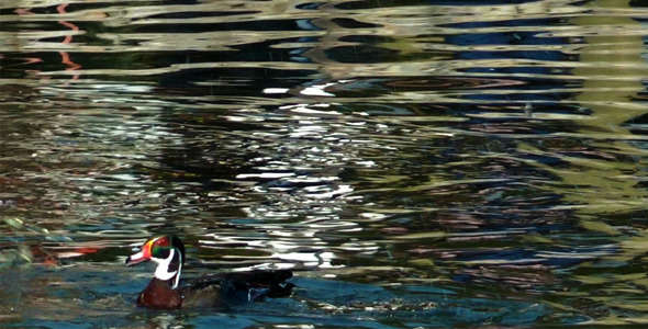Ducks on the Lake 2
