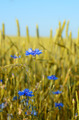 Cornflower at wheat field - PhotoDune Item for Sale