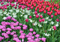 Daffodils and tulips garden - PhotoDune Item for Sale