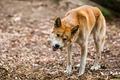 Eating Dingo - PhotoDune Item for Sale