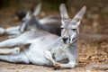 Resting Kangaroo - PhotoDune Item for Sale