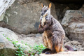 Rock Wallaby - PhotoDune Item for Sale