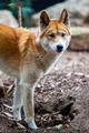 Watchful Dingo - PhotoDune Item for Sale