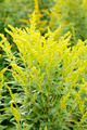 Canada Goldenrod. - PhotoDune Item for Sale
