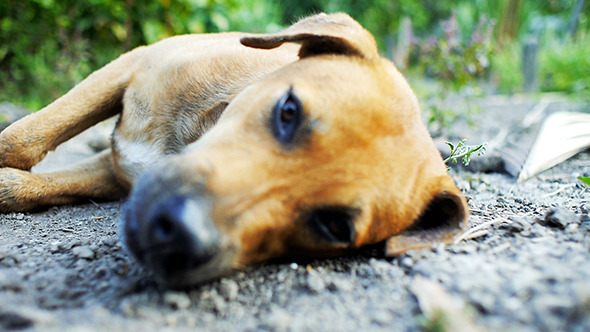 Stock Footage - Dog Laying Down Resting | VideoHive