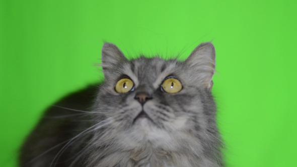 Cat Green Screen