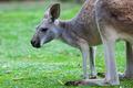 Single Kangaroo - PhotoDune Item for Sale