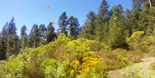 Monarch Butterflies Landscape