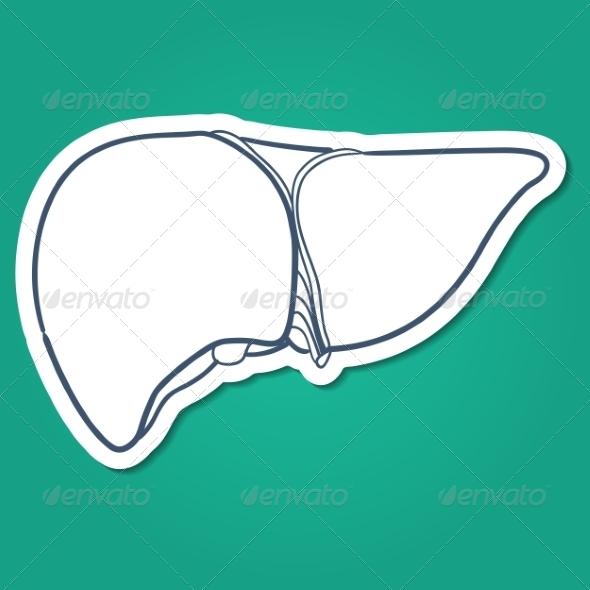 Anatomical Liver Human Organ