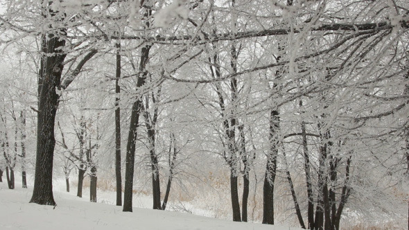 Winter Trees in Forest