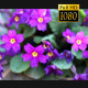 Sprring Purple Flower 4 - VideoHive Item for Sale