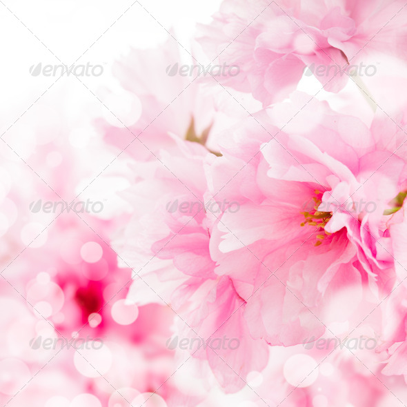 sakura isolated - Stock Photo - Images