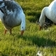 Domestic Geese 3 - VideoHive Item for Sale