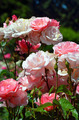 Beautiful pink rose garden - PhotoDune Item for Sale