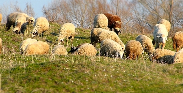 Sheep On A Pasture Miniature Effect