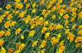 Bright yellow daffodils - PhotoDune Item for Sale