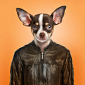 Chihuahua wearing a leather jacket, orange background - PhotoDune Item for Sale