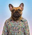 French Bulldog wearing a spotted shirt, blue background - PhotoDune Item for Sale