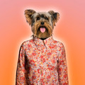 Yorkshire terrier wearing a shirt, orange background - PhotoDune Item for Sale