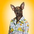 Chihuahua wearing a shirt, yellow background - PhotoDune Item for Sale