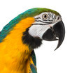 Close-up of a Blue-and-yellow Macaw, isolated on white - PhotoDune Item for Sale