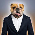 English bulldog wearing a suit, colored background - PhotoDune Item for Sale