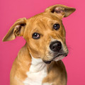 close-up of a American Staffordshire Terrier (5 months old) - PhotoDune Item for Sale