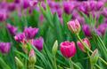 tulips flower field - PhotoDune Item for Sale