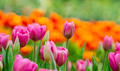 pink tulips flower field - PhotoDune Item for Sale