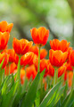 Fresh colorful tulips in warm sunlight - PhotoDune Item for Sale