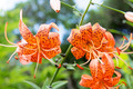 Tiger lily, Lilium lancifolium - PhotoDune Item for Sale