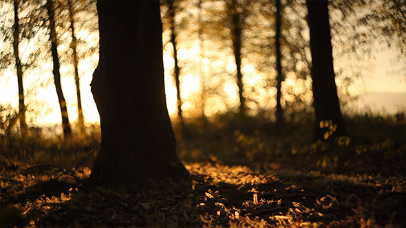 Forest in the Sunset 4