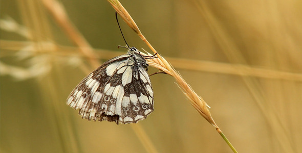 Butterfly On Dry Grass