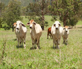 Cows in a Field - PhotoDune Item for Sale