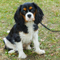 closeup portrait of the dog Cavalier King Charles Spaniel breed - PhotoDune Item for Sale