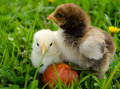 Chicken besides Easter eggs - PhotoDune Item for Sale