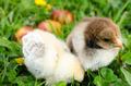 Chicken besides Easter eggs - PhotoDune Item for Sale