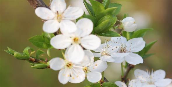 VideoHive Flower Early Cherries 2 in 1 7542966