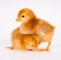 Baby Chick Newborn Farm Chickens Standing White Rhode Island Red - PhotoDune Item for Sale