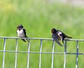 swallow - PhotoDune Item for Sale