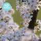 Blackthorn Blossom - VideoHive Item for Sale