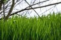 Spring grasses - PhotoDune Item for Sale
