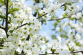 Rapid flowering of sweet cherry tree - PhotoDune Item for Sale