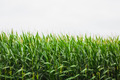 corn crop with cloudy sky in background - PhotoDune Item for Sale