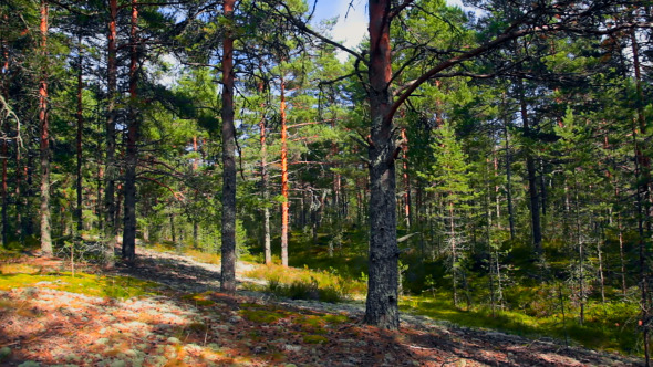 Northern Pine Forest