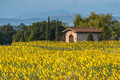 Sun Flower Field in Tuscany Landscape, Italy - PhotoDune Item for Sale