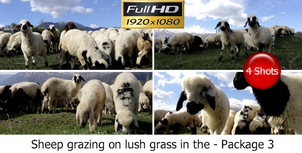 Stock Footage Video Sheep